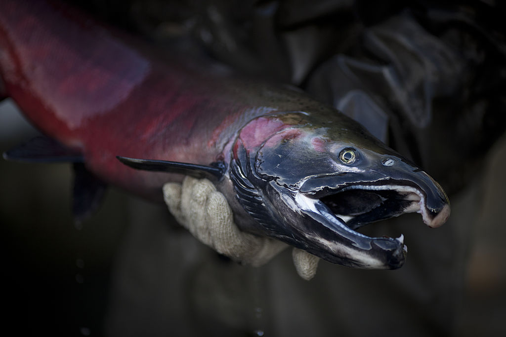 New research shows tire-related chemical is killing coho salmon in Puget Sound streams - Seattle PI