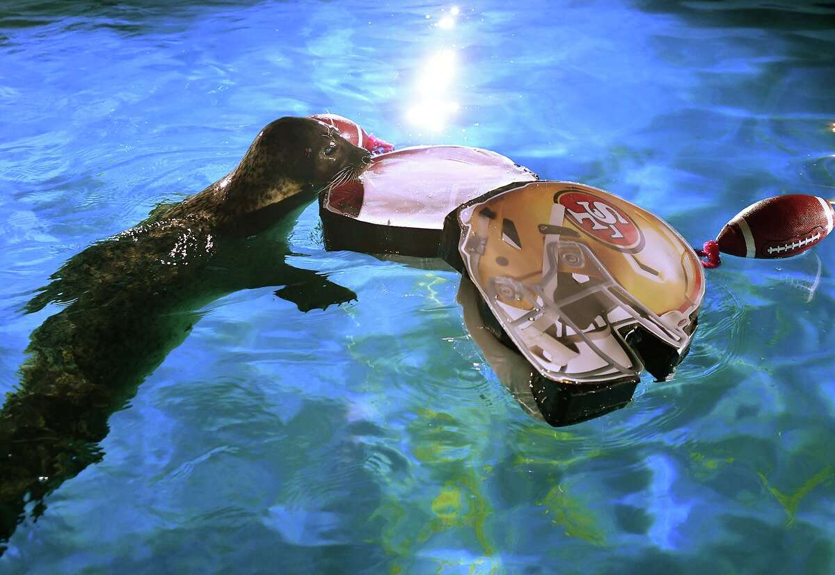 Yearly Super Bowl prognosticator Rasal, a trained habor seal, chooses the San Francisco Forty-Niners as the winner of this year's big game at the Maritime Aquarium in Norwalk, Conn. on Wednesday, January 29, 2020.