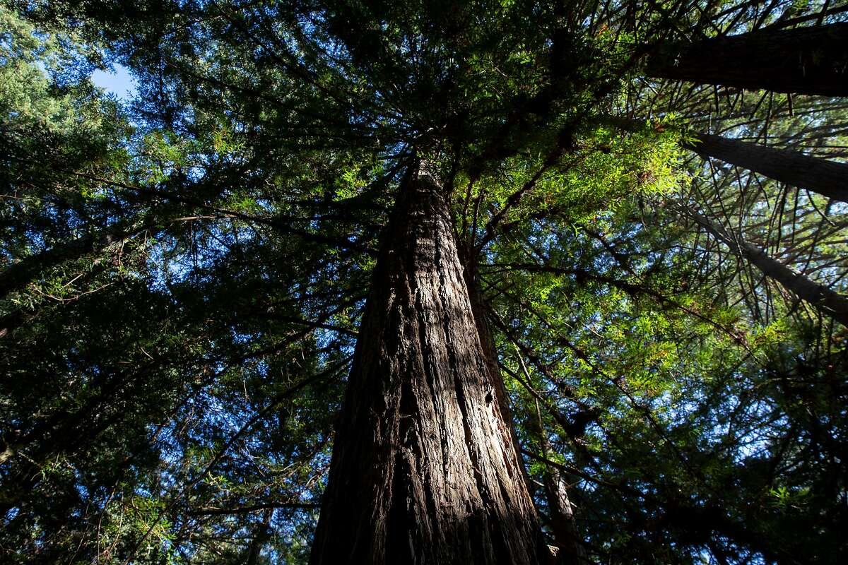 The redwood trees at Cascade Ranch on Friday, Nov. 8, 2019, in Pescadero, Calif.
