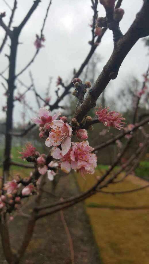 Some peach tree varieties have reached their required chill hours due to warmer temperatures. Montgomery County Master Gardener Demonstration Gardens Photo: Photo Courtesy The Montgomery County Master Gardener