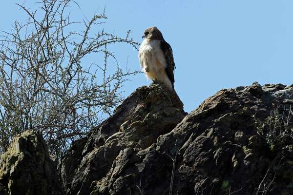 A sign of the wild landscape: a red-tailed hawk.