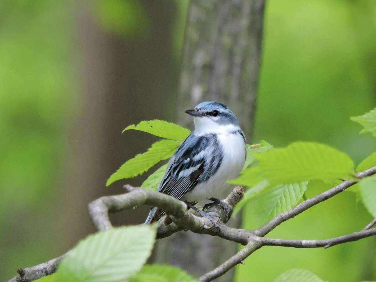 Cerulean Warbler is one of the birds facing extinction in North America due to climate change.