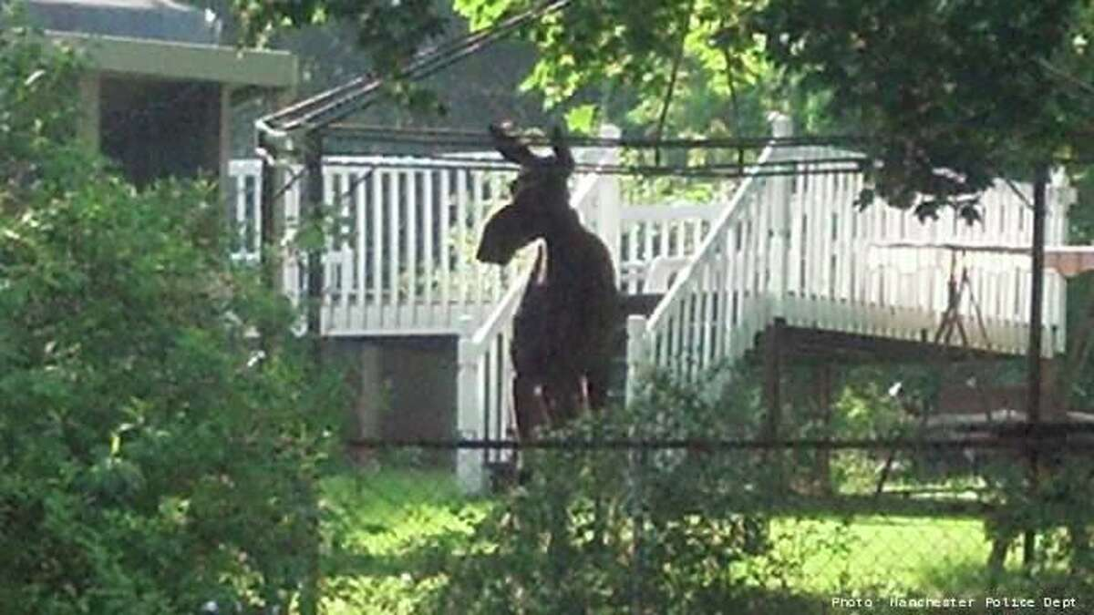 A moose was seen in Manchester in 2013.