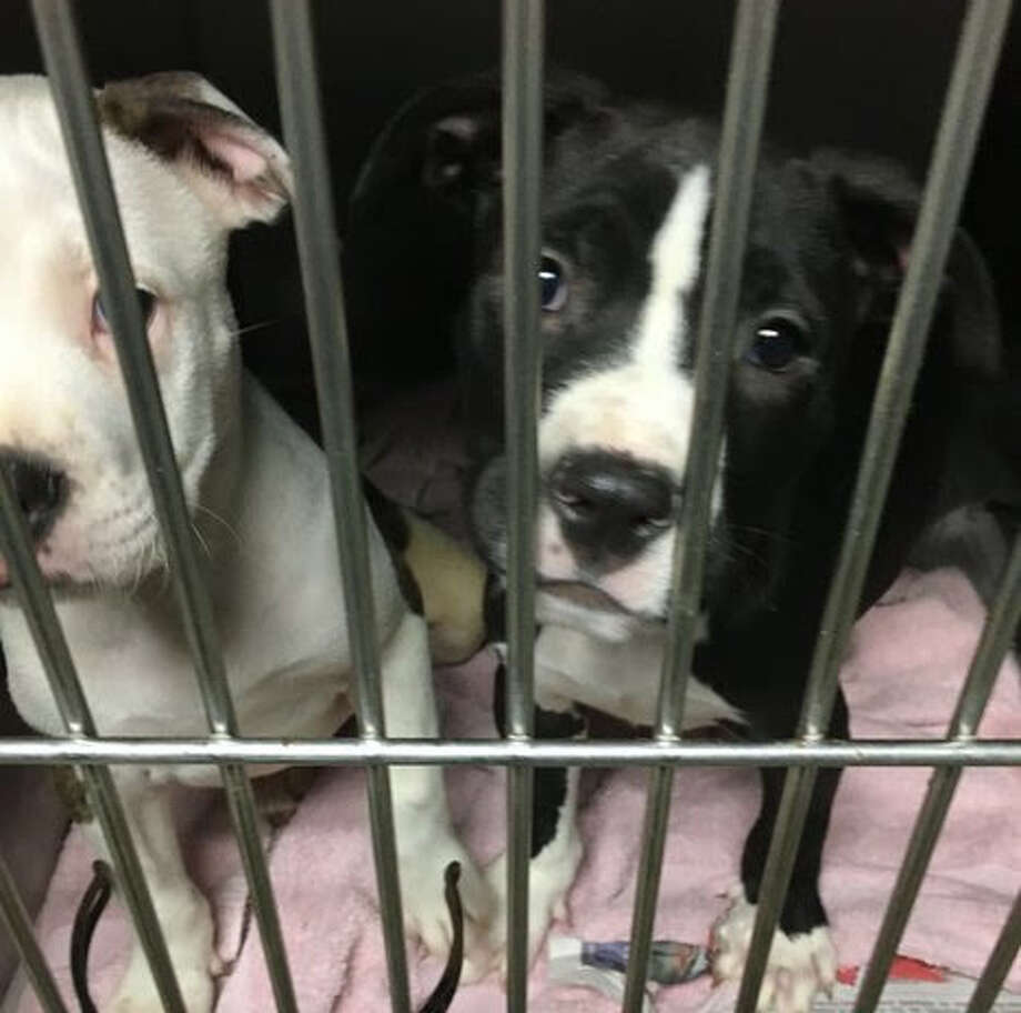 San Antonio Pets Alive! is asking the public for help due to its center being flooded with dogs affected by the contagious canine distemper disease. Photo: SAPA!