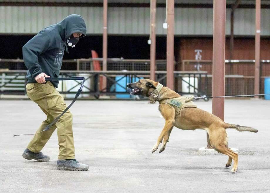 Harley Quinn lunges towards Archangel K9 master trainer Zac Carman during training in New Caney, Wednesday, Jan. 29, 2020. Photo: Gustavo Huerta,  Houston Chronicle / Staff Photographer / Houston Chronicle