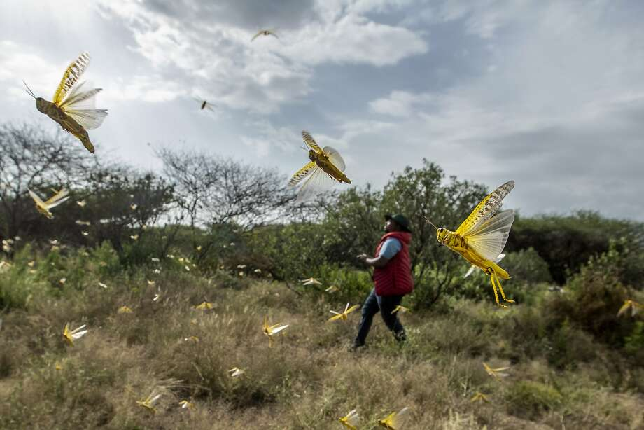 Locusts swarm a field in Kenya's Nasuulu Conservancy. The worst outbreak in 70 years already has decimated crops in Somalia and Ethiopia and threatens the breadbasket of Ethiopia. Photo: Ben Curtis / Associated Press