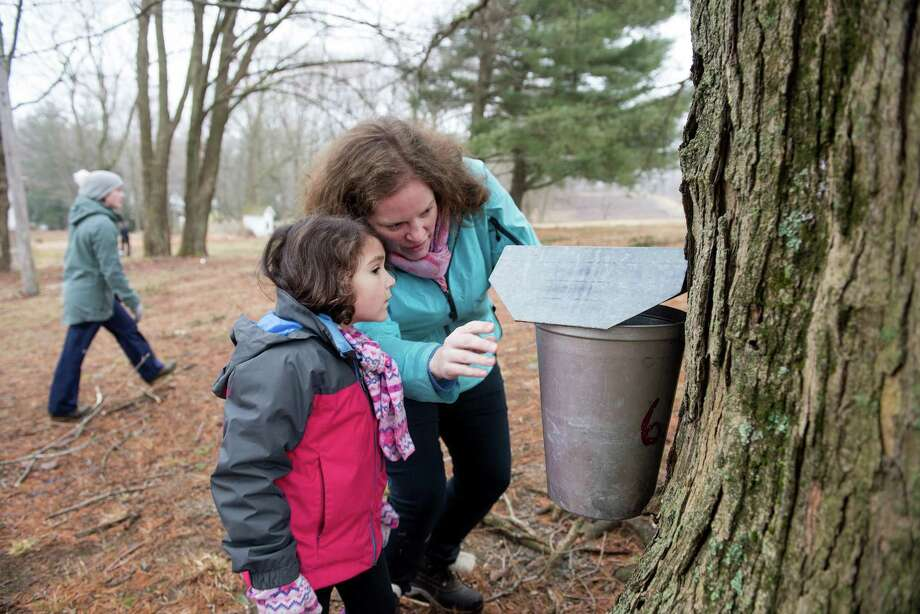 Primrose Frutos, 5, and Jen White place a bucket on a maple tree to collect of sap that will become maple syrup. Photo: Bryan Haeffele / Hearst Connecticut Media / Hearst Connecticut Media