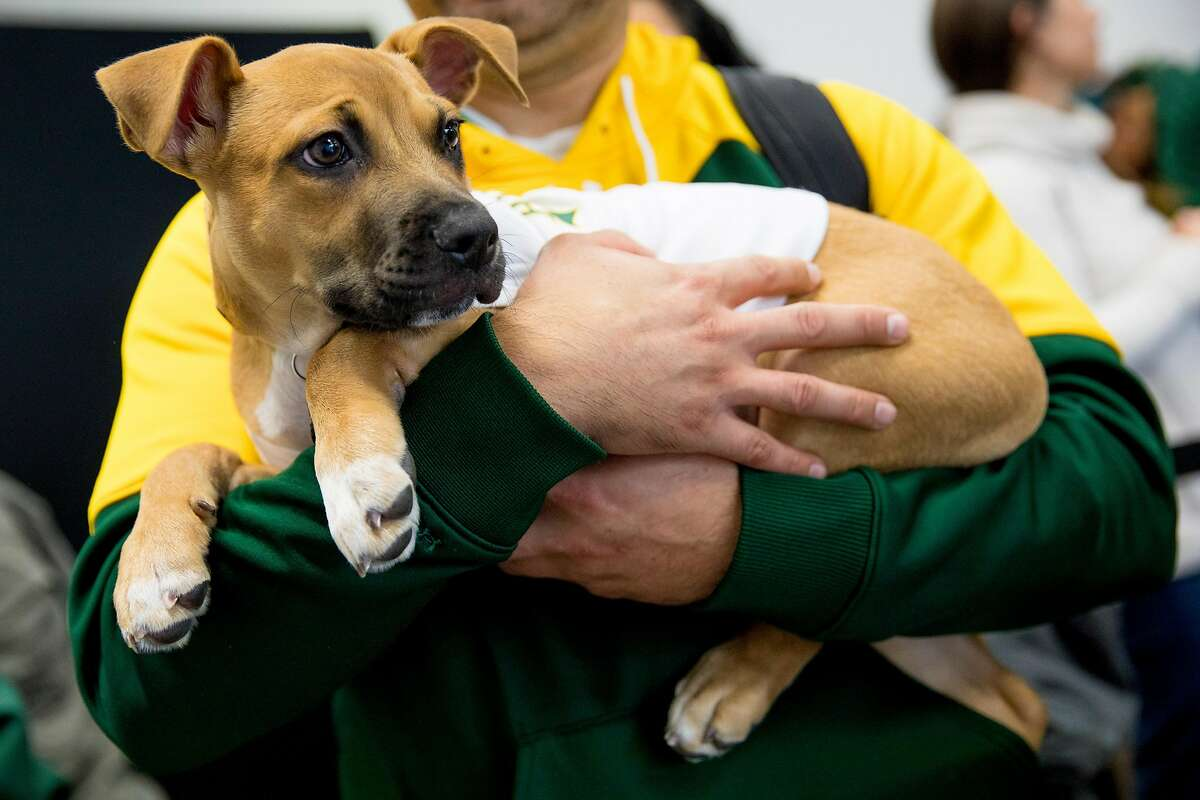 A puppy named Chappy stands in line with hopes of meeting Oakland A's third baseman Matt Chapman who he is named after during the Oakland A's Fan Fest held at Jack London Square in Oakland, Calif. Saturday, January 25, 2020.