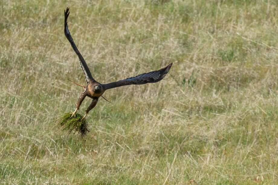 A red-tailed hawk flies off with a tuft of grass to help build a nest in the Los Vaqueros Watershed Photo: Steve Goodall