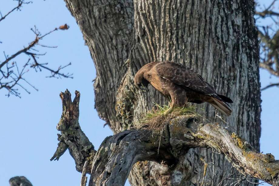 A red-tailed hawk builds a nest in the Los Vaqueros Watershed Photo: Steve Goodall