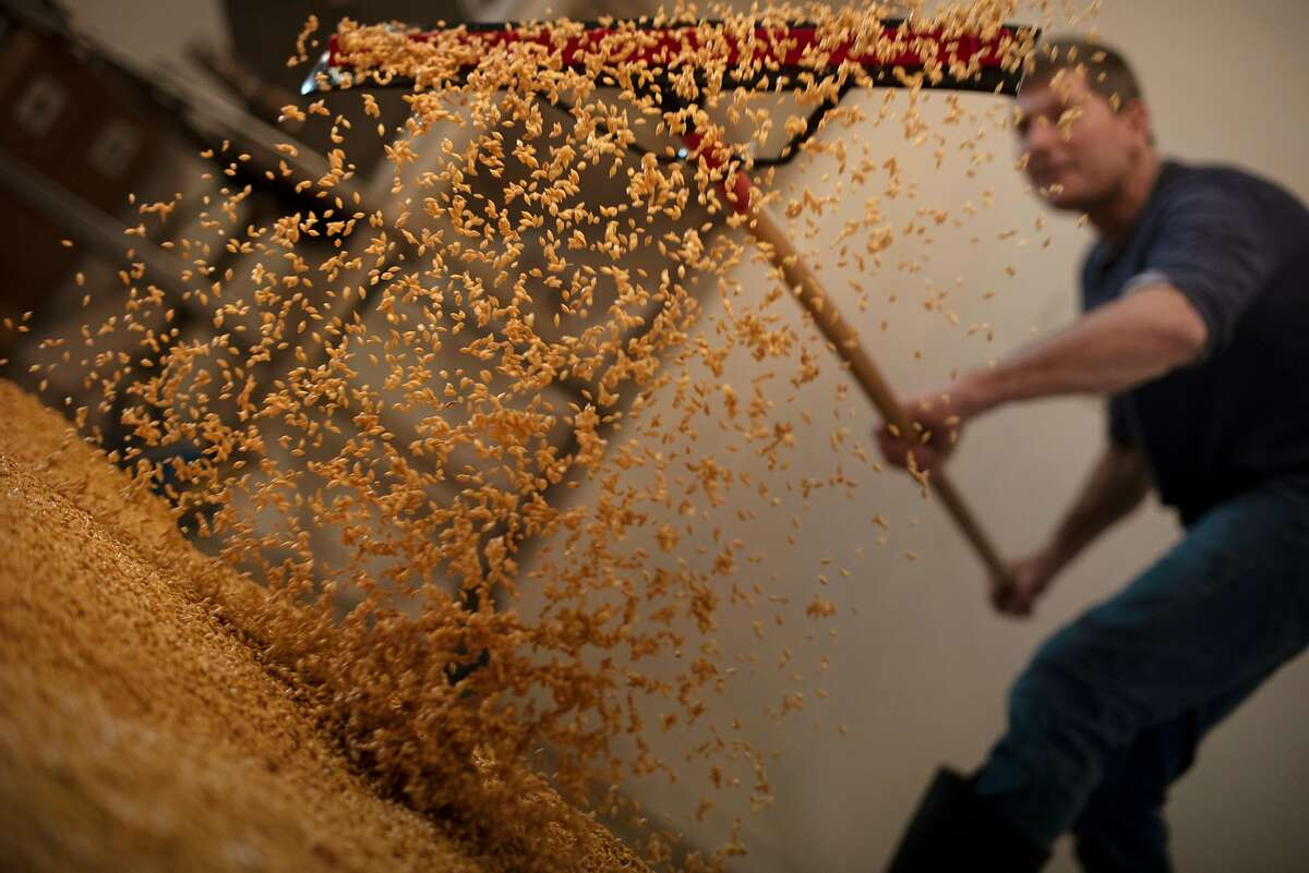Mad Fritz founder and master brewer Nile Zacherle of Mad Fritz Brewing Co. spreading locally grown Hockett barley that is beginning to germinate on a cement floor at his brewery in St. Helena, Calif. on January 30, 2020.