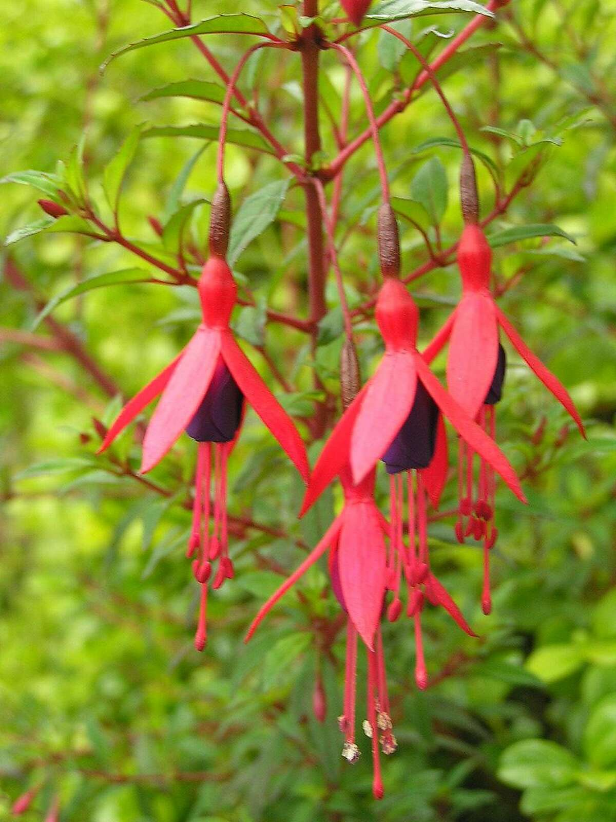 Fuschia 'Campo Thilco.' The flower of Fuschia 'Cardinal' is nearly twice as long as that of F. 'Campo Thilco.' Credit: Peter Baye Ran on: 08-30-2006 The flowers of fuchsia 'Cardinal,' left, are almost twice as long as those of 'Campo Thilco,' above. In other words, the tube of 'Cardinal' is as long as the whole flower of 'Campo Thilco.' Ran on: 08-30-2006 Ran on: 08-30-2006 Ran on: 08-30-2006