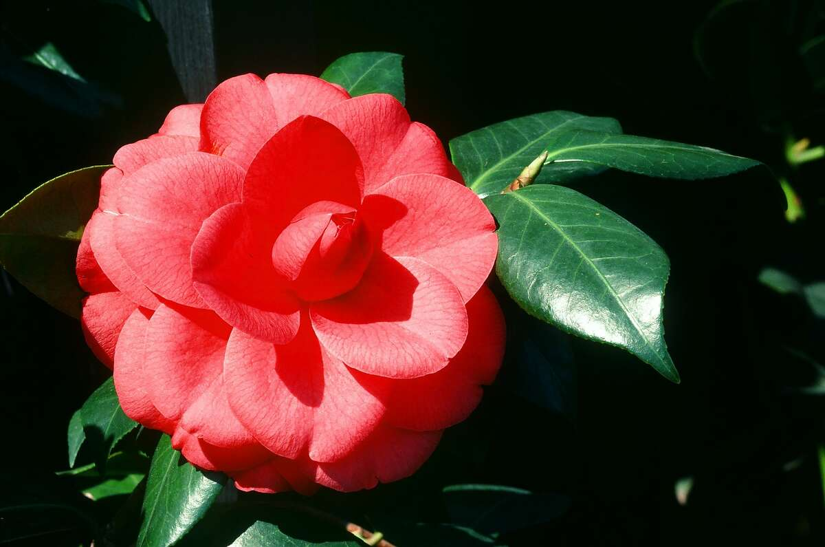 Gardeners treasure camellias for the bright blooms and shiny leaves they add to shady locations. This one is Camellia japonica 'Mathotiana'.