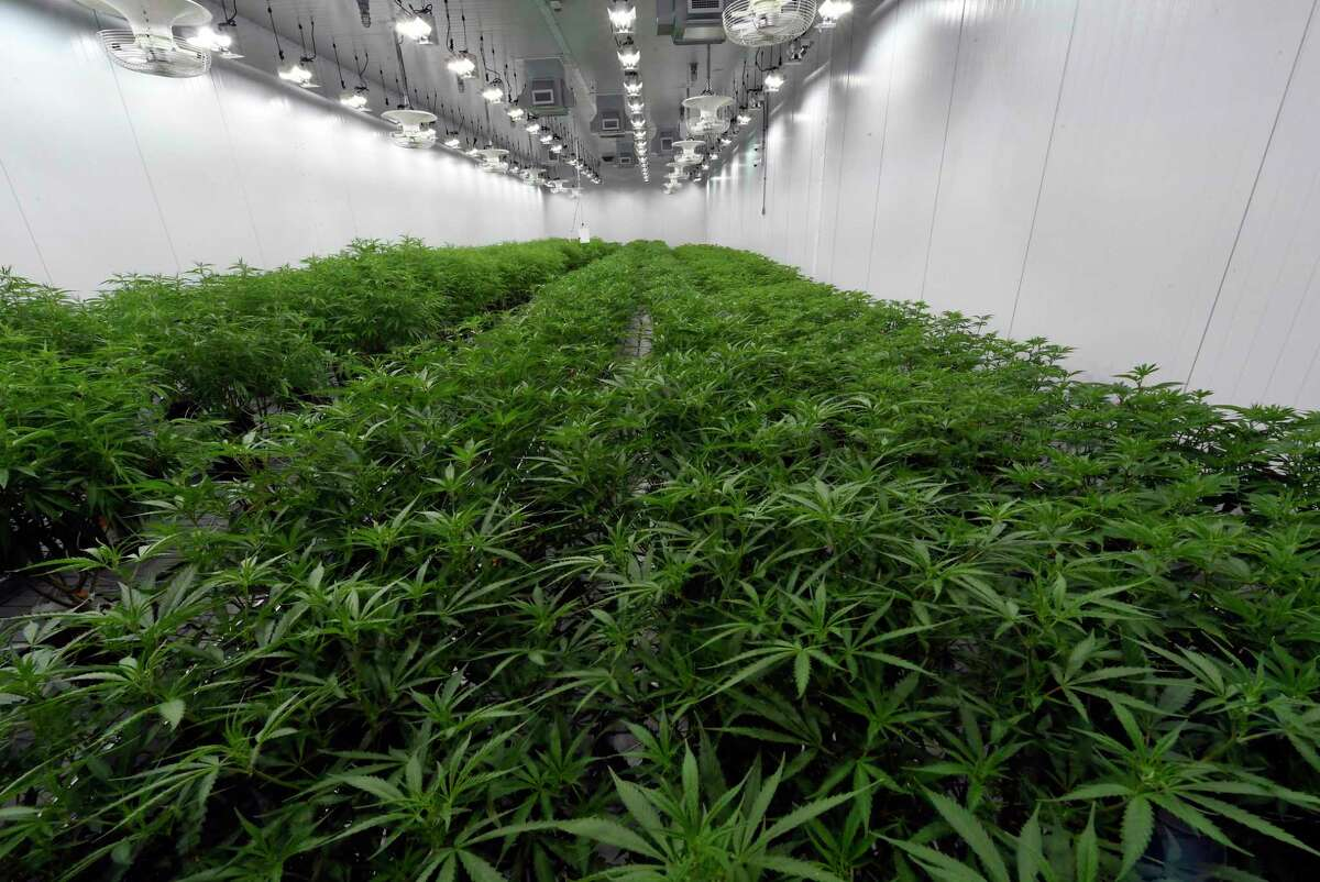 This Aug. 22, 2019 photo shows medical marijuana plants being grown at the Curaleaf medical cannabis cultivation and processing facility in Ravena, N.Y. After legislative efforts stalled and a vaping sickness stirred new concerns, the governors of New York, New Jersey and Connecticut still want to make recreational pot legal. (AP Photo/Hans Pennink)