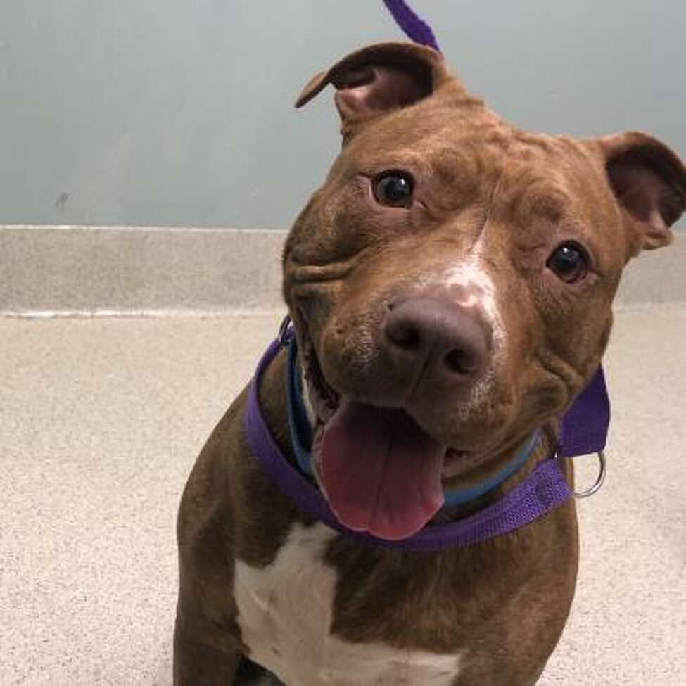 Yasha is a 4-year-old female terrier pit bull mix.
