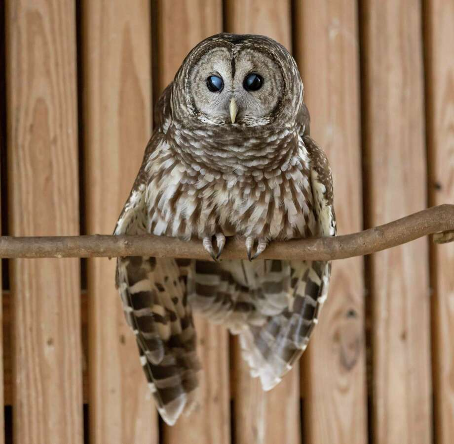 Wonky, a Barred Owl, rests on his perch at Friends of Texas Wildlife in Magnolia, Tuesday, Jan. 28, 2020. Wonky was brought into the facility after was being struct by a vehicle. Photo: Gustavo Huerta, Houston Chronicle / Staff Photographer / Houston Chronicle
