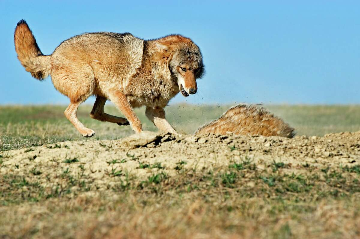 Coyotes and badgers don't always get along. In this file photo, they are seen fighting over prey.