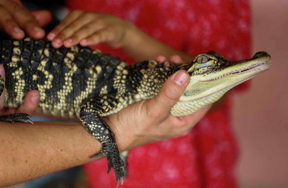 A baby American alligator was available for visitors to interact with at the newly opened Kathrine G. McGovern Texas Wetlands exhibit at the Houston Zoo Friday, May 24, 2019, in Houston. The exhibit features three native Texas species; bald eagles, whooping cranes, and American alligators in a wetland habitat. Photo: Godofredo A Vásquez, Houston Chronicle / Staff Photographer / © 2019 Houston Chronicle