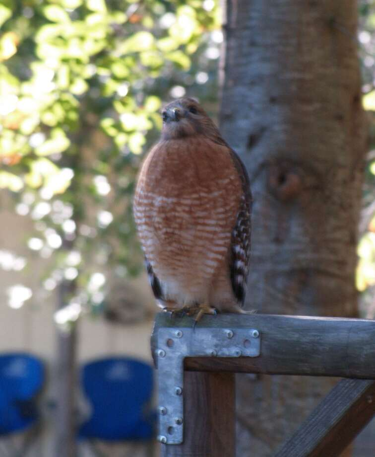 This red-shouldered hawk can be as much a threat to a small pet as a gopher, mole, or a gray squirrel. Photo: Larry J. LeBlanc