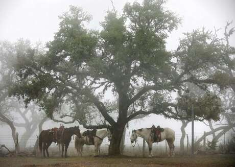 Horses tied to a tree in the morning fog wait for members of the Cowboy Capital Trail Ride at the Silver Spur Guest Ranch.