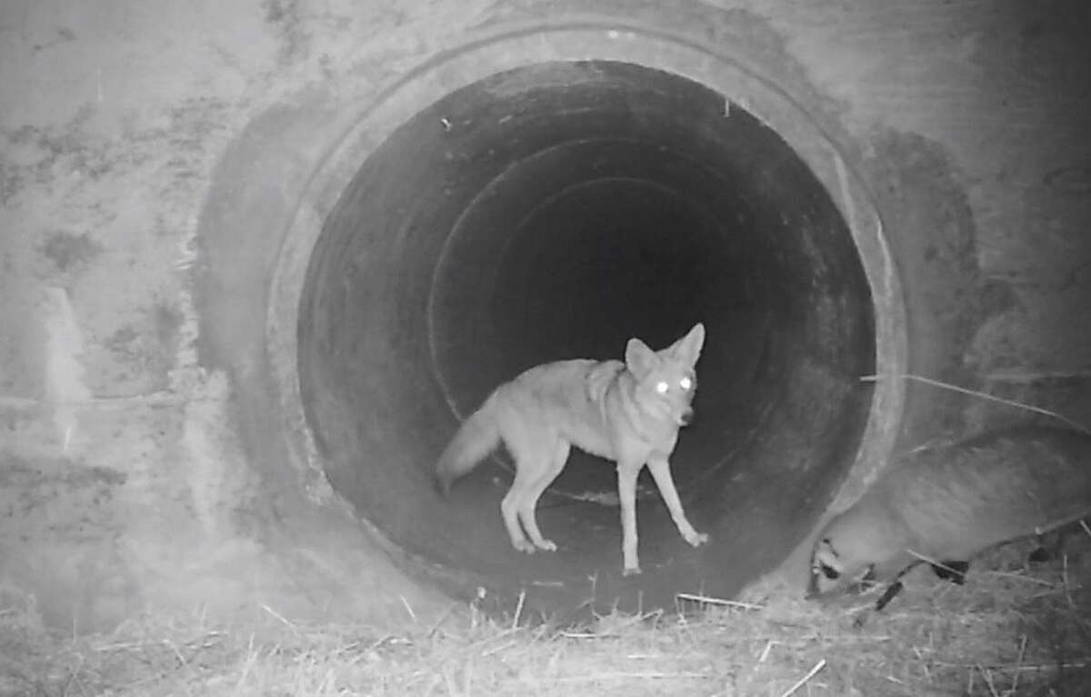 A screenshot from a video taken by a POST wildlife camera shows a coyote and a badger traveling together into a tunnel in the Santa Cruz Mountains.