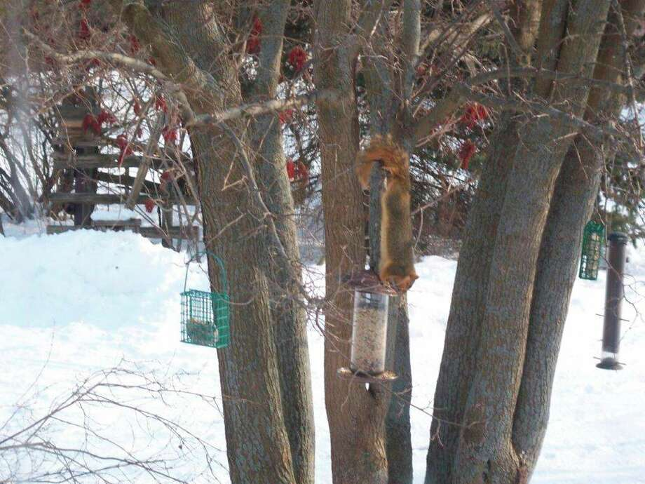 "Squirrels are quite clever and can perform amazing feats of agility to access ""squirrel-proof"" bird feeders, such as hanging by their toes. In this instance, the lid can't be removed, so the feeder is tipped enough to pour bird seed out onto the ground. (Tom Lounsbury/Hearst Michigan)"