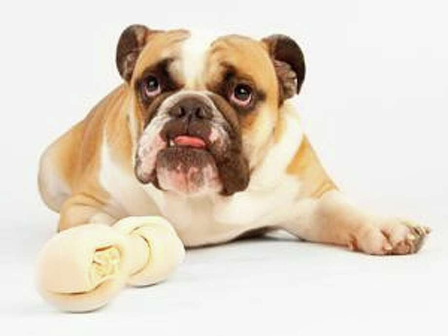 FILE — Monroe's animal control officer said an English bulldog reportedly bit a volunteer at the Monroe SPCA on Jan. 31, 2020. Photo: Jess Wiberg / IStock / iStock_000010484538Small