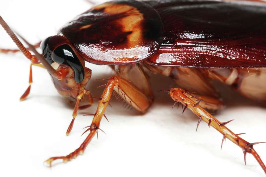 At the San Antonio Zoo's Cry Me A Cockroach Valentine's Day event, the brokenhearted can pay $5 to name a cockroach or $25 to name a rodent after their ex and then watch as the tasty morsel is fed to one of the zoo's hungry, hungry insectivores. Photo: National Pest Management Association