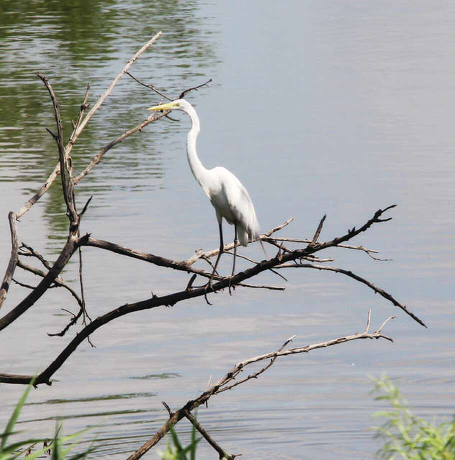An egret perches on a dead limb in standing water while more egrets perch on nearby trees.
