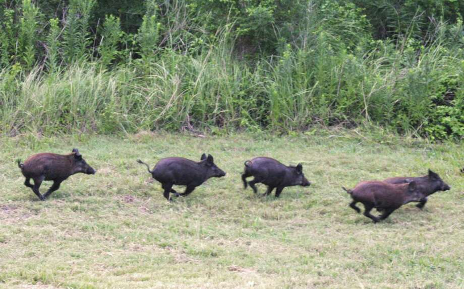 PHOTOS: Feral hog hunting in TexasFeral hogs similar to these photographed elsewhere in Texas have turned up in Pasadena, and the city will work to remove them using traps.>>>See more for the ins and outs of feral hog hunting in Texas... Photo: Shannon Tompkins / Houston Chronicle