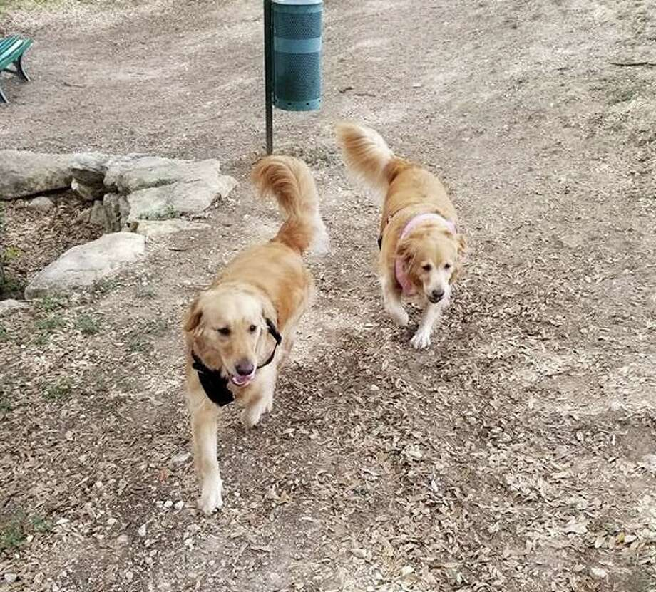 A San Antonio couple is offering a $7,000 reward for the return of their two missing golden retrievers that have been missing since June of last year. Photo: Tricha And Dylan Sauce
