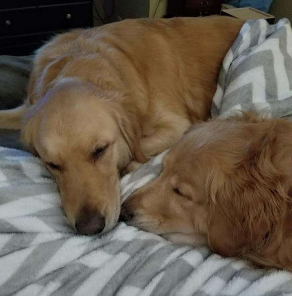 A San Antonio couple is offering a $7,000 reward for the return of their two missing golden retrievers that have been missing since June of last year.