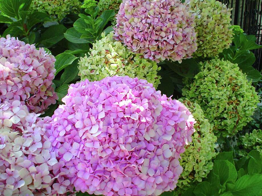 "The hydrangea flowers humans find appealing are sterile, but there are ""functional flowers"" on the plant favored by honeybees. Photo: Contributed Photo"