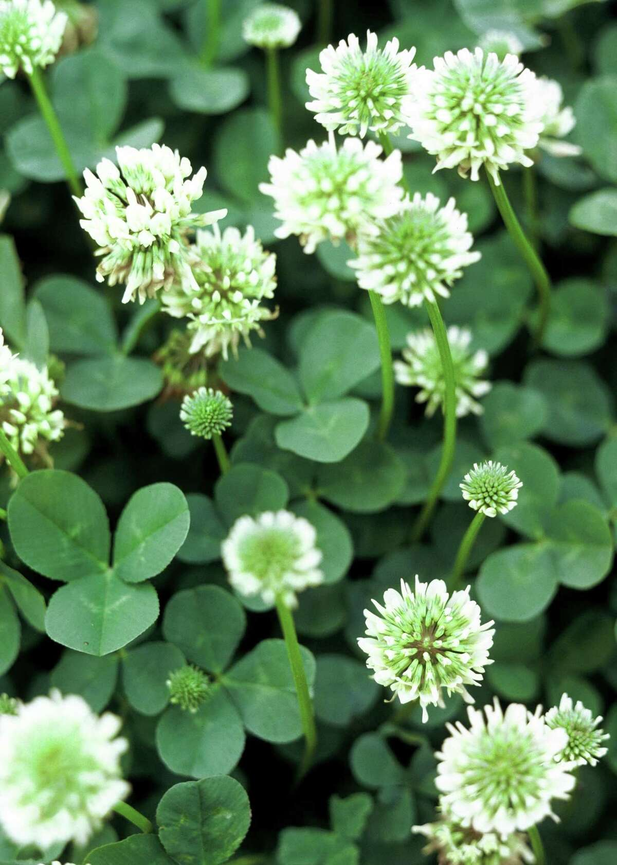White clover is a native species favored by honey bees that can find a place in the residential landscape.
