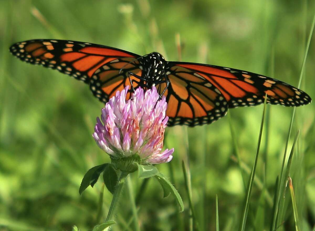 A Monarch butterfly alights on a red clover blossom, a plant also favored by honey bees.