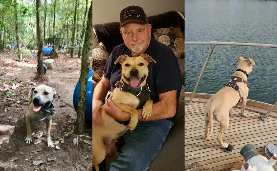 Houston dog Lola was rescued from an alleged dogfighting ring last year. Now she is happily living the boat life with her new owner in Seattle. >>>See Lola's transformation... Photo: Houston Humane Society/Randy Chase