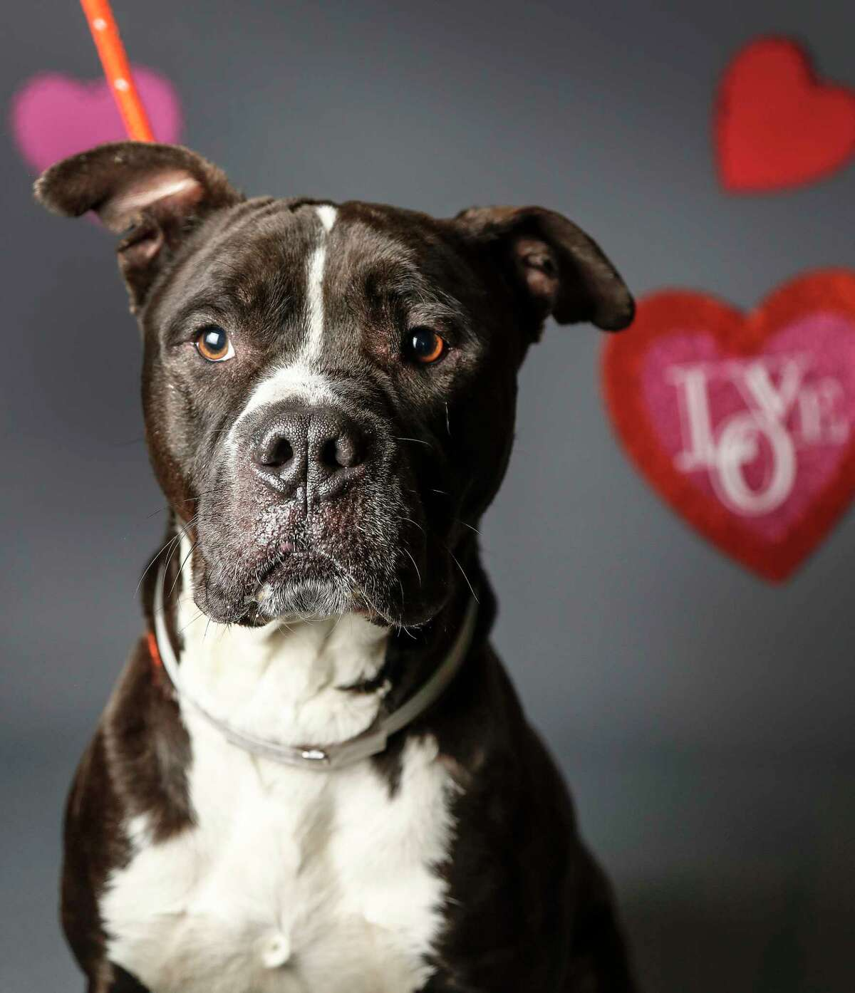 Popeye (A1509621) is a 5-year-old, male, black/white Boxer mix available for adoption from the BARC Animal Shelter, Wednesday, Feb. 5, 2020, in Houston. Popeye came into the shelter 2 1/2 years ago, and was adopted quickly, but was recently returned to the shelter due to his owners home being heavily damaged by the recent Watson Grinding explosion, leaving the family and Popeye with no place to stay. Popeye is a very friendly dog, who loves treats and knows the