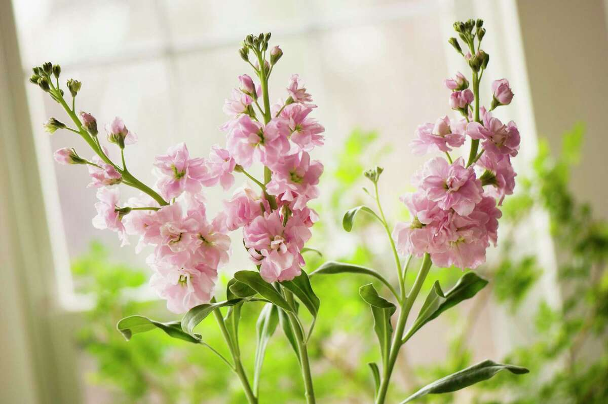 Pink stock flowers