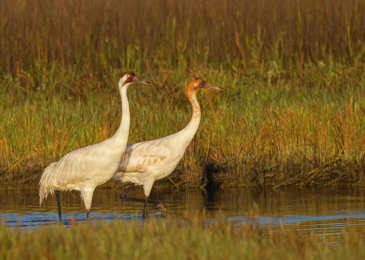 Whooping cranes forage for food in the shallow marsh pools.