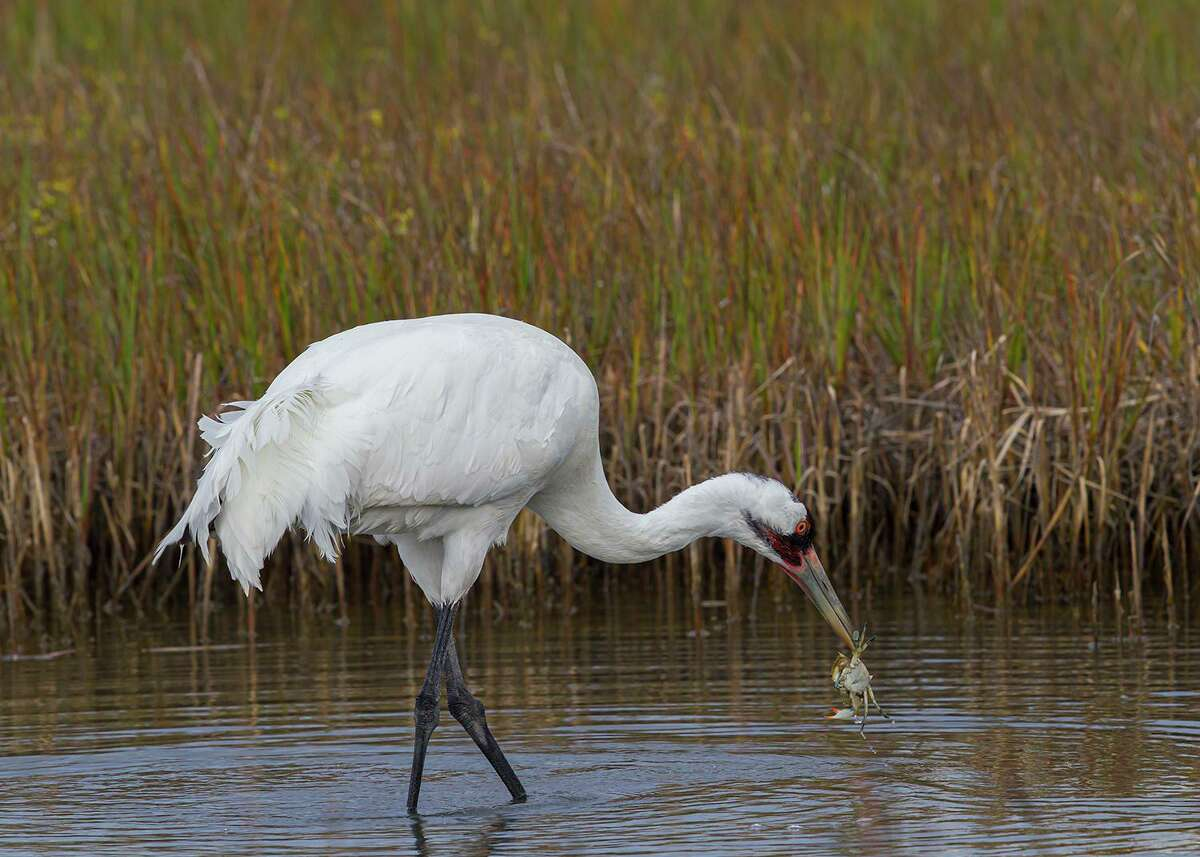 Whooping cranes feed on crawfish, frogs, and especially blue crabs.