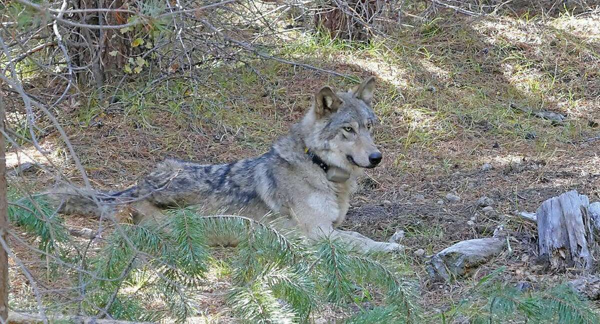 OR-54, a gray wolf, was born to the famous wandering wolf OR-7 that was the first wild wolf known to have entered California in 100 years. OR-54 was found dead on Wednesday, Feb. 5, 2020.