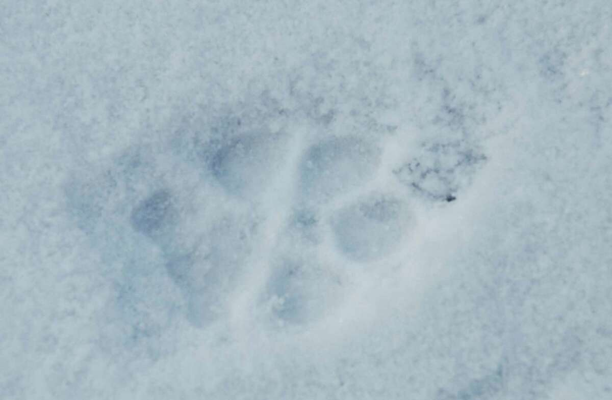Wildlife tracks in the snow.