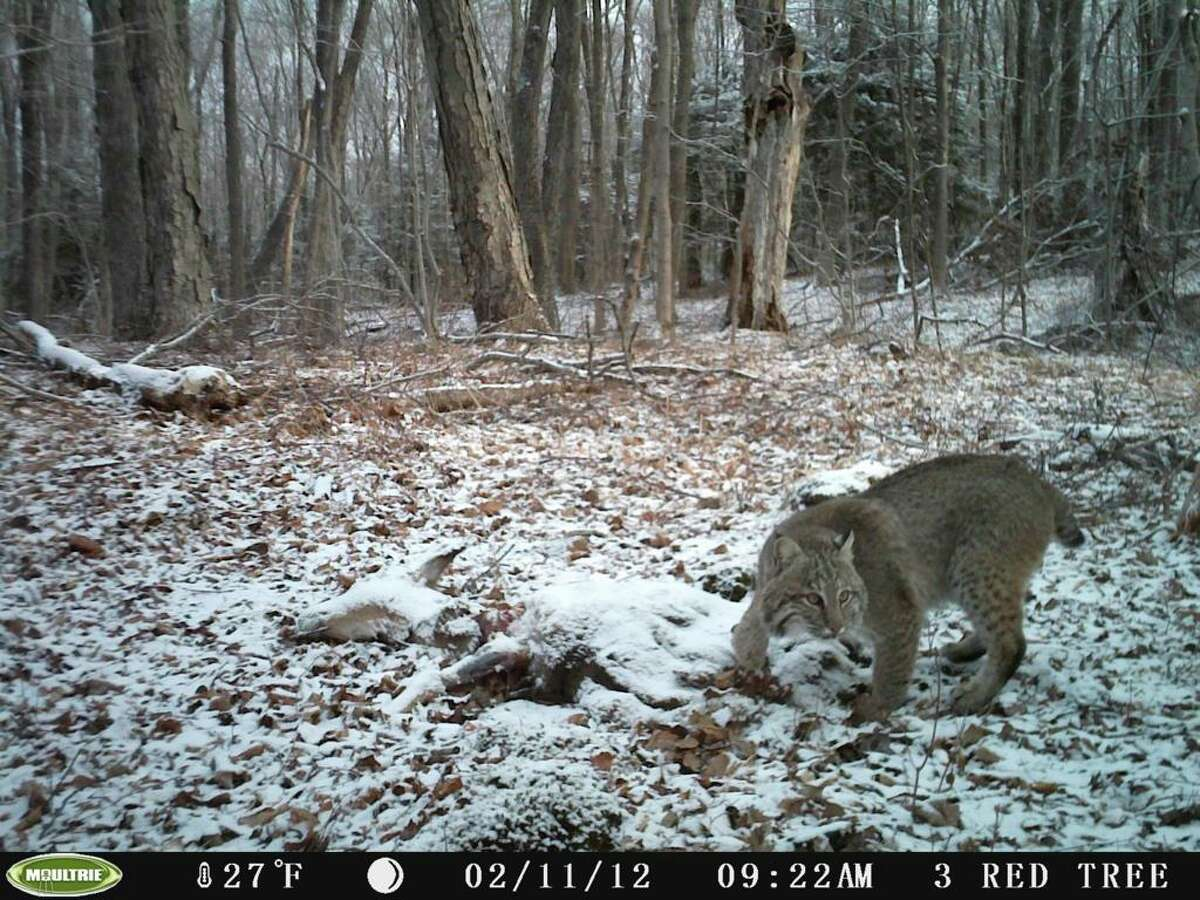 A bobcat in the woods.