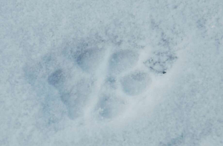 Wildlife tracks in the snow. Photo: Andy Dobos / Contributed Photo