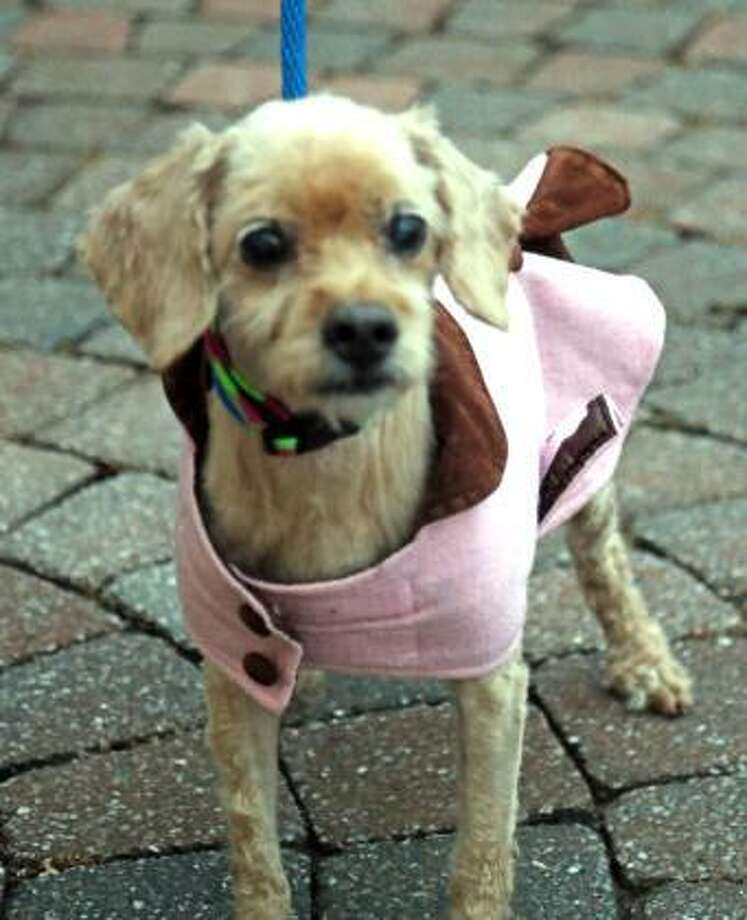 Cookie, a cocker spaniel/miniature poodle mix, can live in any size home, including apartments. Cookie is 13 years old, quiet and calm, and needs to get some exercise every day. She has not had much experience with cats or dogs, but she is willing to consider sharing her home with a furry friend. A bit tiny at this point, Cookie would like lots of attention and love from her new family. This is a great dog with lots of potential for the family with kids over 14 that has small dog experience. Remember, the Connecticut Humane Society has no time limits for adoption. Inquiries for adoption should be made at the Connecticut Humane Society located at 701 Russell Road in Newington or call toll free: 1-800-452-0114. Photo: Contributed Photo