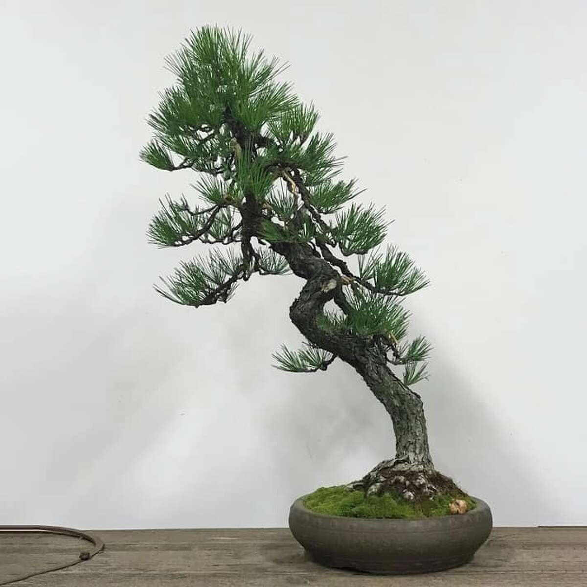 A Japanese black pine was stolen from the Pacific Bonsai Museum in Federal Way. This one was raised from a seed in a tin can by Jizaburo Furuzawa while he was incarcerated during World War II.