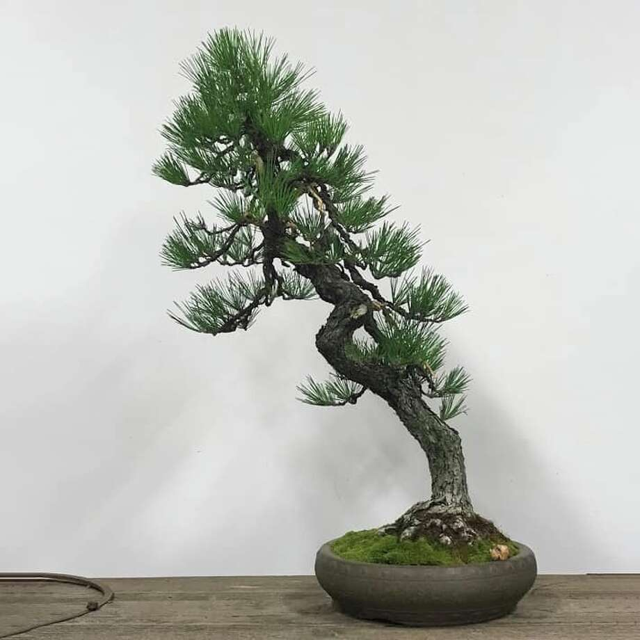 A Japanese black pine was stolen from the Pacific Bonsai Museum in Federal Way. This one was raised from a seed in a tin can by Jizaburo Furuzawa while he was incarcerated during World War II. Photo: Courtesy Of Pacific Bonsai Museum