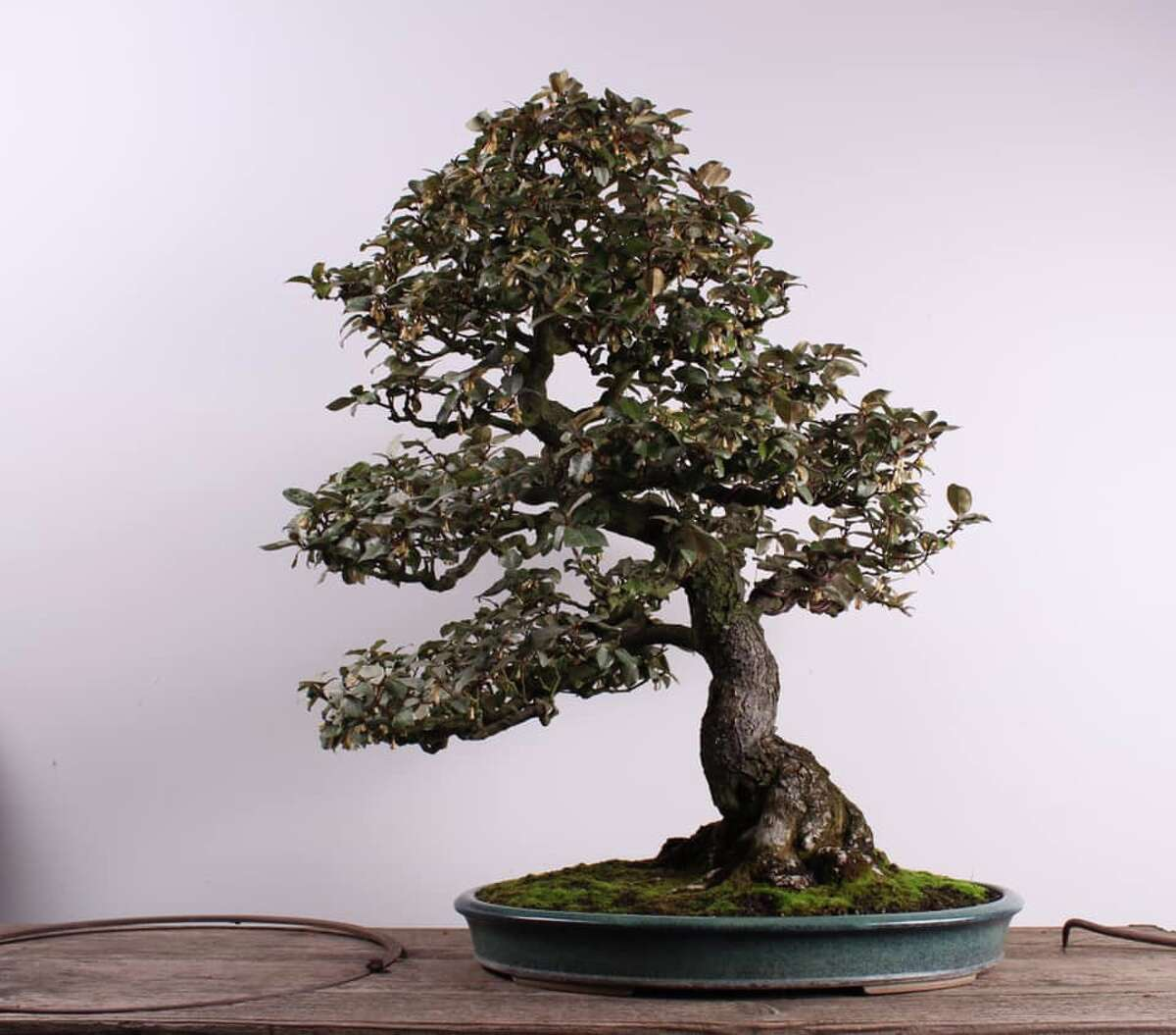 A Silverberry bonsai tree was stolen from the Bonsai Museum in Federal Way. This one was created and trained to be a bonsai in 1946 by pioneering bonsai artist Kiyoko Hatanaka.