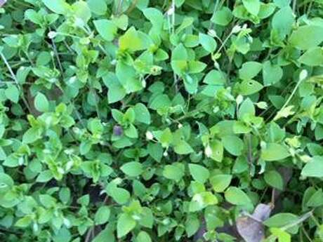 Dealing with chickweed? Trim it and cover it now, then treat it closer to Labor Day.