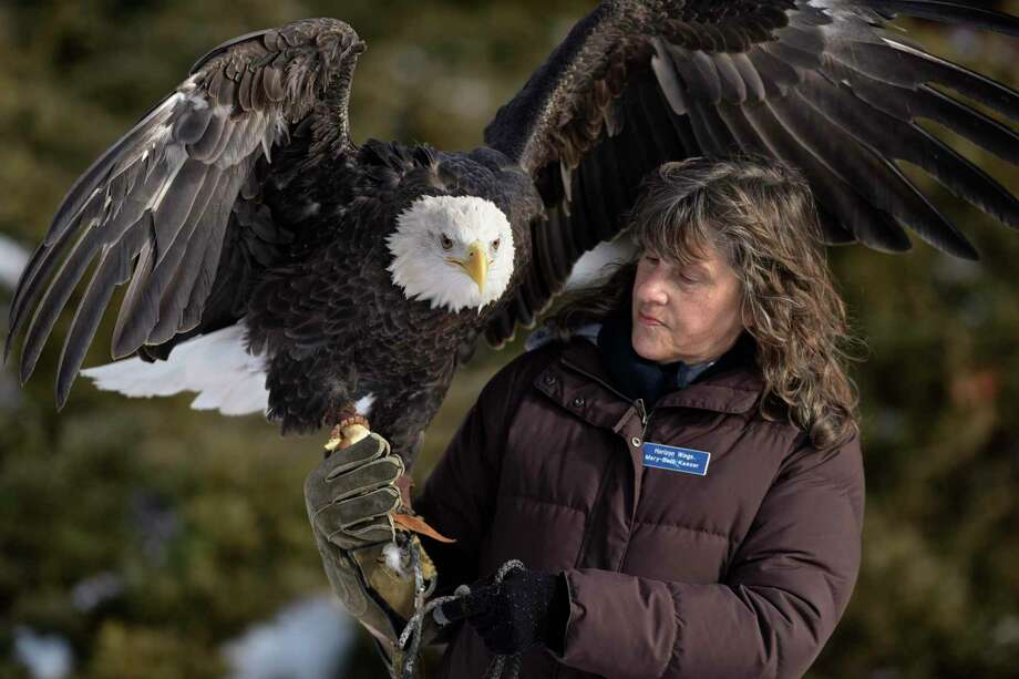 A $5,000 reward is being offered for the safe return of Atka, a bald eagle, shown here with Mary-Beth Kaeser, owner of Horizon Wings a raptor rehabilitation & education organization. Photo: H John Voorhees III / Hearst Connecticut Media / The News-Times